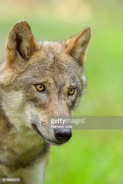 European Gray Wolf, Canis lupus lupus, Portrait