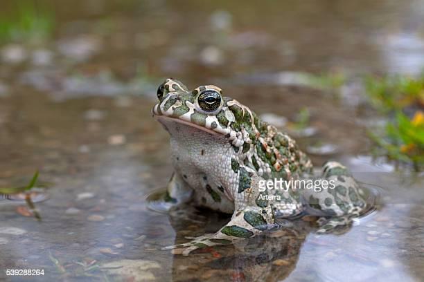 European Green Toad Austria