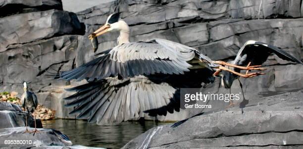 European Grey Heron Fishing