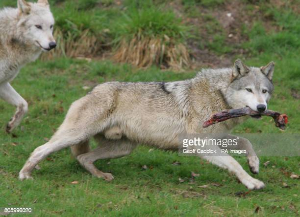 European grey wolves have joined ZSL Whipsnade Zoo as part of Wild Wild Whipsnade the brand new exhibit which opens on Good Friday at the...