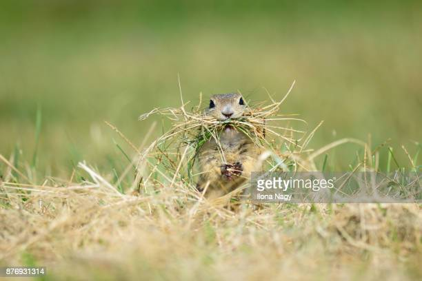 european ground squirrel collecting dry grass for its nest - dry mouth stock photos and pictures