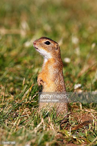 european ground squirrel or souslik (spermophilus citellus) standing on its hind legs and watching its surroundings - vista lateral stock pictures, royalty-free photos & images