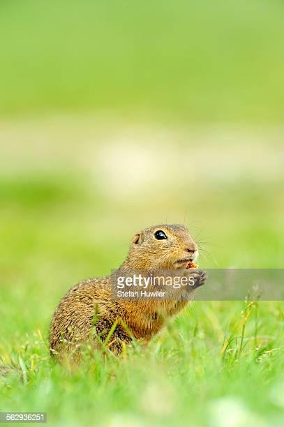 european ground squirrel -spermophilus citellus-, feeding - animal digestive system stock photos and pictures