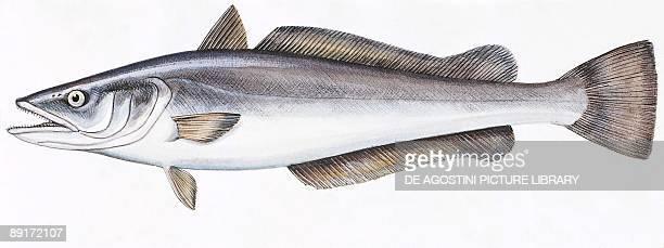 European hake illustration
