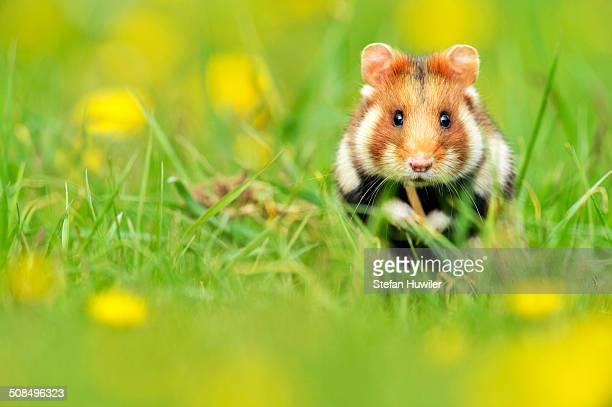 European Hamster -Cricetus cricetus-, feeding, Vienna State, Austria