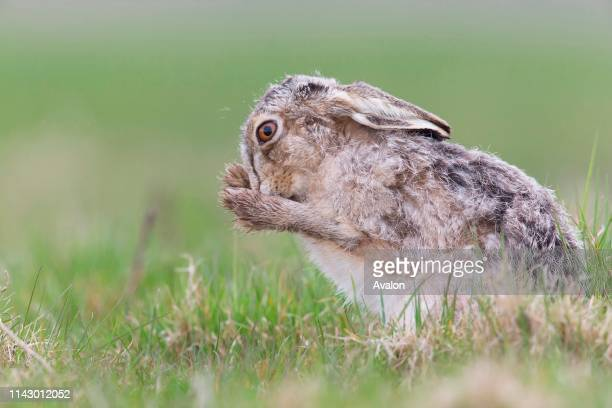 European Hare adult male leucistic form grooming in grass field Suffolk England April