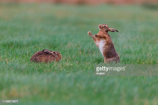 European Hare adult pair standing in grass field male standing up to shake rain from body Suffolk England March