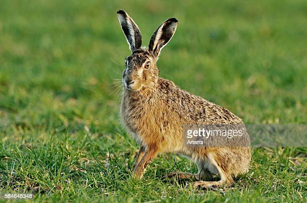 European hare / brown hare sitting in meadow the Netherlands