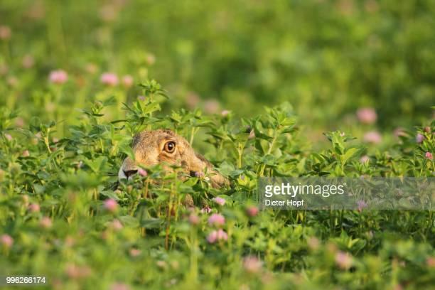 european hare (lupus europaeus) in red clover field (trifolium pratense) wachau, lower austria, austria - lepre comune foto e immagini stock