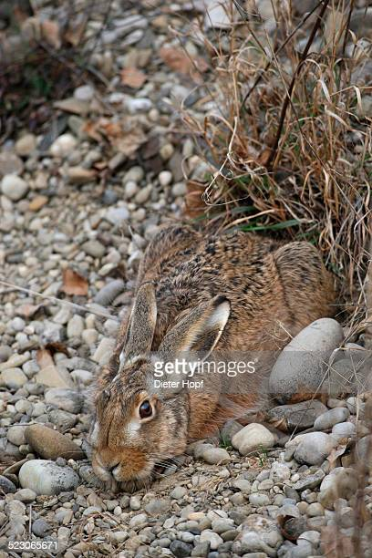 European Hare -Lepus europaeus- crouched in a shallow form, Allgaeu, Bavaria, Germany, Europe