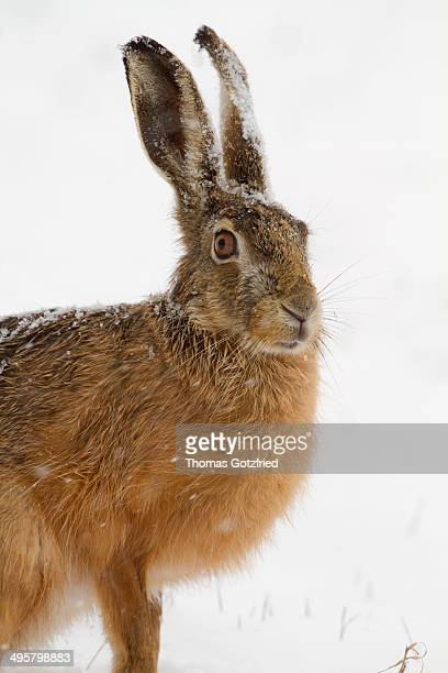 European Hare -Lepus europaeus- in the snow, Burgenland, Austria