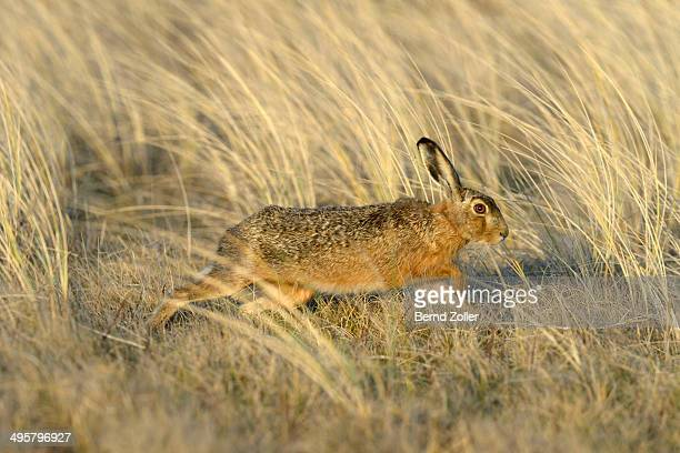 European Hare -Lepus europaeus-, running in the tall marram grass, Dunes of Texel National Park, Texel, West Frisian Islands, province of North Holland, Netherlands