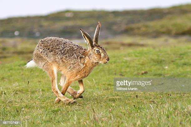 european hare -lepus europaeus- running, north hesse, hesse, germany - hare stock pictures, royalty-free photos & images