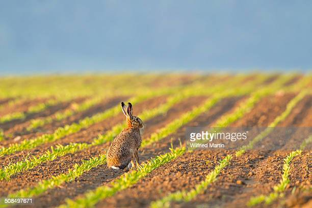 European Hare -Lepus europaeus- sitting in a field, North Hesse, Hesse, Germany