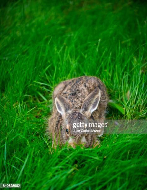 european hare - liebre europea (lepus europaeus), also known as the brown hare, navarra, spain, europe - lepre comune foto e immagini stock