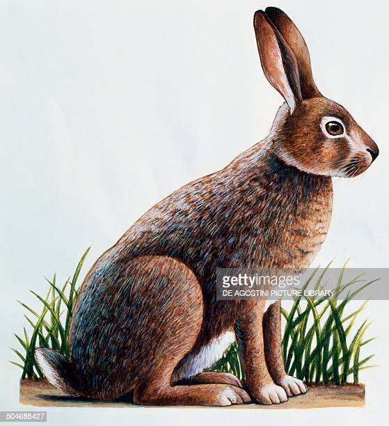 European hare or Brown Hare Leporidae drawing