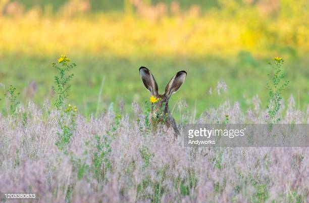 european hare - hare stock pictures, royalty-free photos & images
