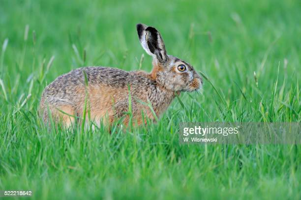 european hare - brown hare stock pictures, royalty-free photos & images