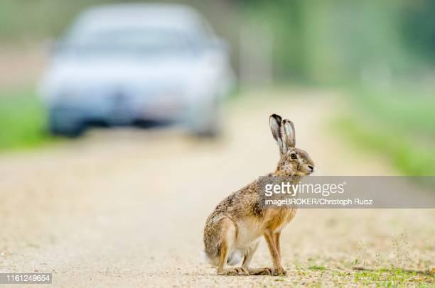 european hare (lepus europaeus) sits on the road, behind car, burgenland, austria - lepre comune foto e immagini stock
