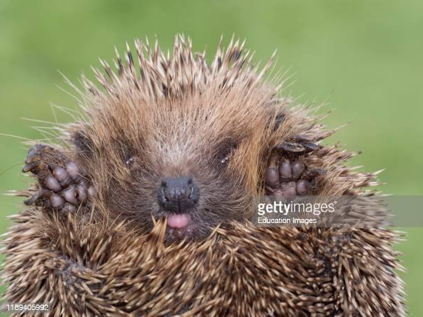European Hedgehog, Erinaceus europaeus, at rescue center, Norfolk, UK.