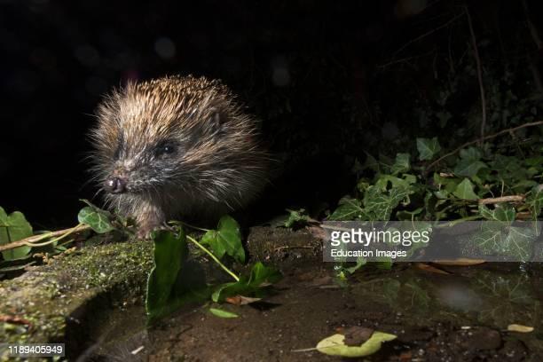 European Hedgehog, Erinaceus europaeus, coming to drink at bird bath in garden at night Holt Norfolk, UK.