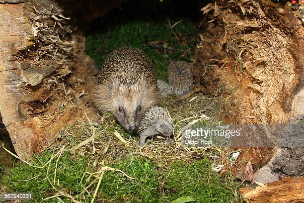 European Hedgehog -Erinaceus europaeus- with young, 13 days, just about to open the eyes, in the nest in an old tree stump, Allgau, Bavaria, Germany