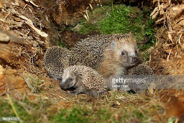 european hedgehog -erinaceus europaeus- with young, 19 days, in the nest in an old tree stump, allgau, bavaria, germany - dierennest stockfoto's en -beelden