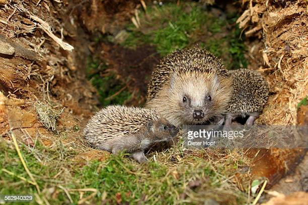 European Hedgehog -Erinaceus europaeus- with young, 19 days, in the nest in an old tree stump, Allgau, Bavaria, Germany