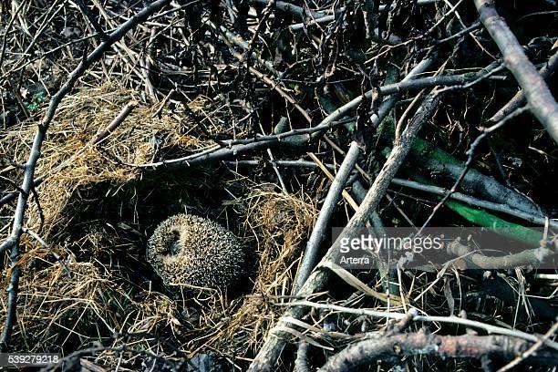 European hedgehog hibernating in nest amongst vegetation in garden.