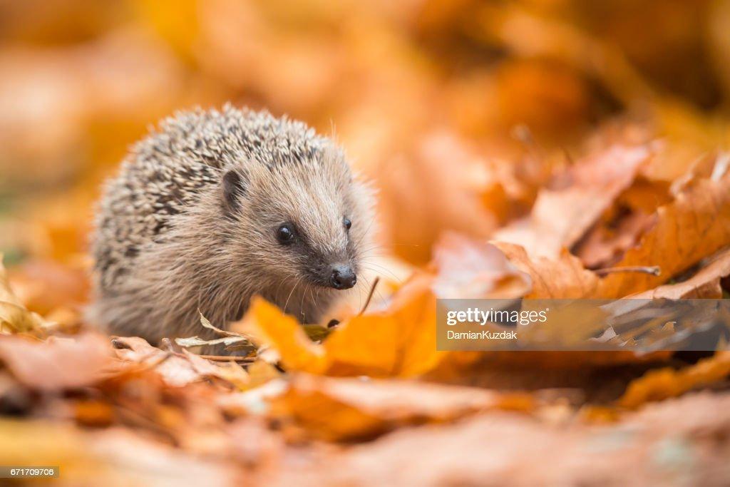 European hedgehog (Erinaceus europaeus) : Stock Photo