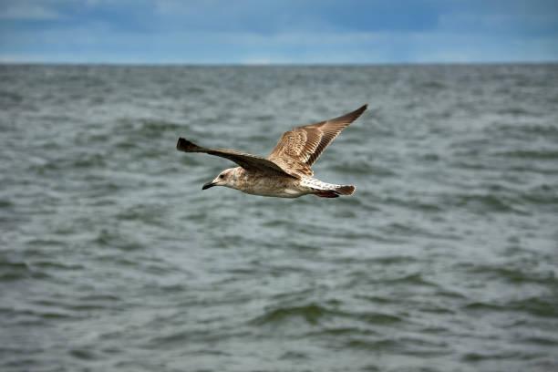 European herring gull in flight above Baltic Sea.