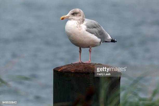 european herring gull (larus argentatus), young animal, sitting on groyne, fischland-darss-zingst, baltic sea, mecklenburg-western pomerania, germany - fischland darss zingst photos et images de collection