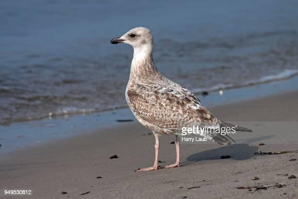 european herring gull (larus argentatus), young animal, standing on the beach, fischland-darss-zingst, baltic sea, mecklenburg-western pomerania, germany - fischland darss zingst photos et images de collection