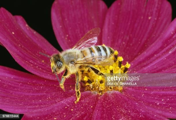 European honey bee on a flower Hymenoptera