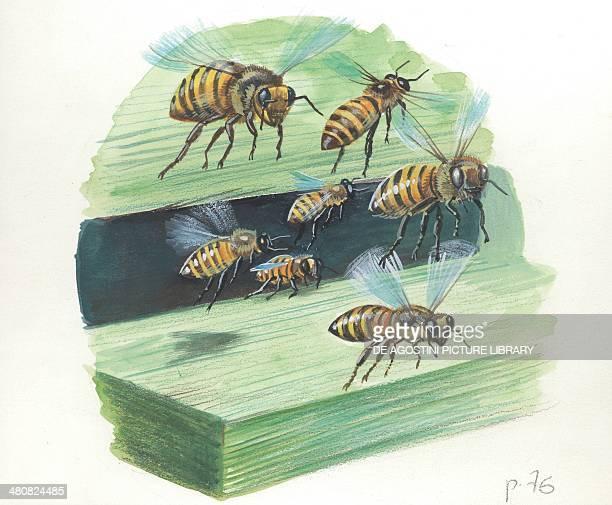 European honey worker bees illustration