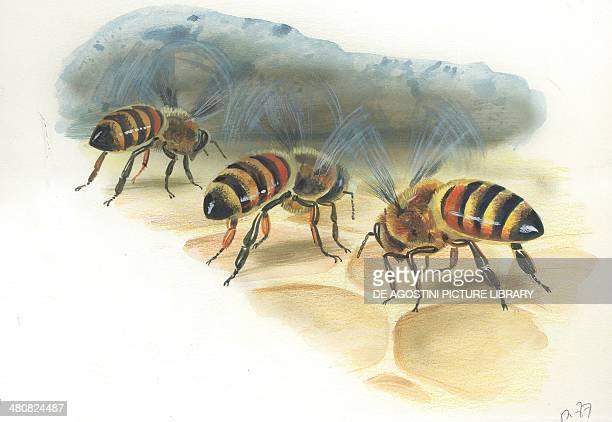 European honey worker bees storing honey in the hive illustration