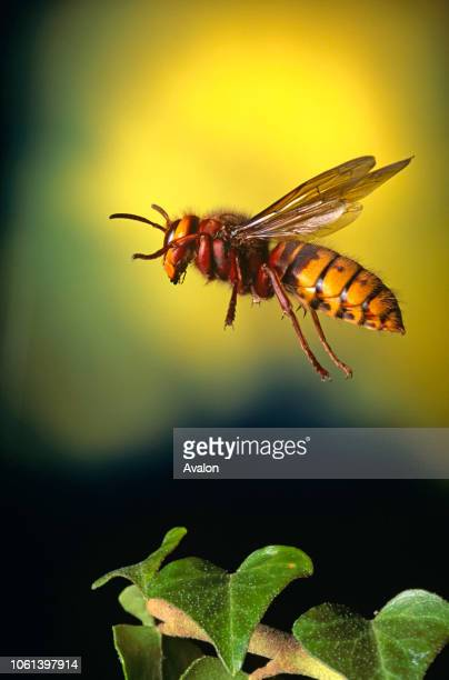 European Hornet in flight.