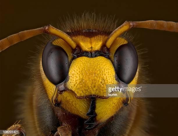 calabrone europeo (vespa crabro - calabrone foto e immagini stock