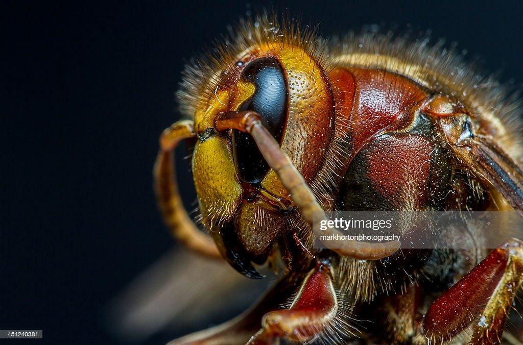 European Hornet (vespa crabro) : Stock Photo