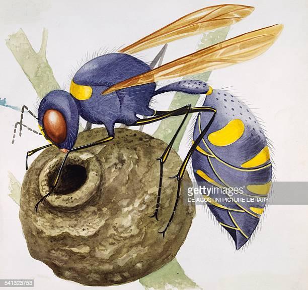 European hornet Vespidae drawing