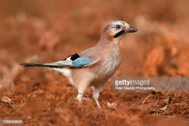 european jay - national wildlife reserve stock pictures, royalty-free photos & images