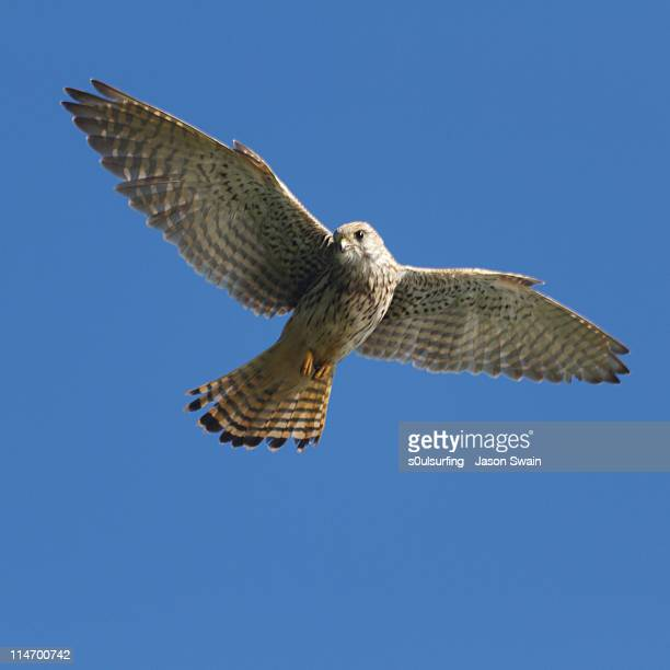 european kestrel - s0ulsurfing stock pictures, royalty-free photos & images