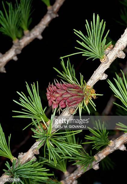 European larch branches Pinaceae Detail