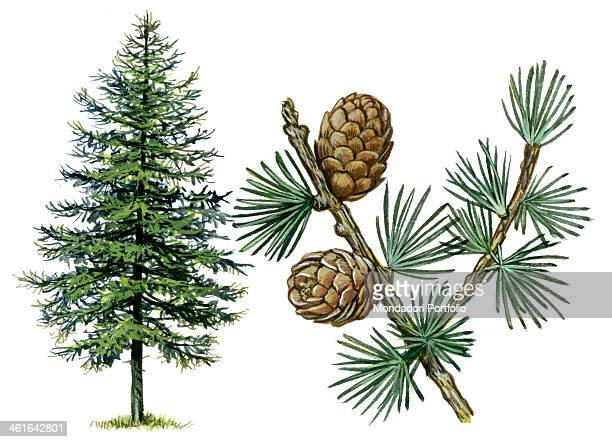 European Larch by Giglioli E 20th Century ink and watercolour on paper Whole artwork view Drawing of the plant with cones and leaves