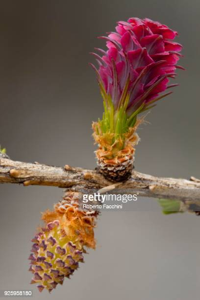 european larch (larix decidua), female flower on top, male flower bottom, aosta valley, italy - european larch stock pictures, royalty-free photos & images