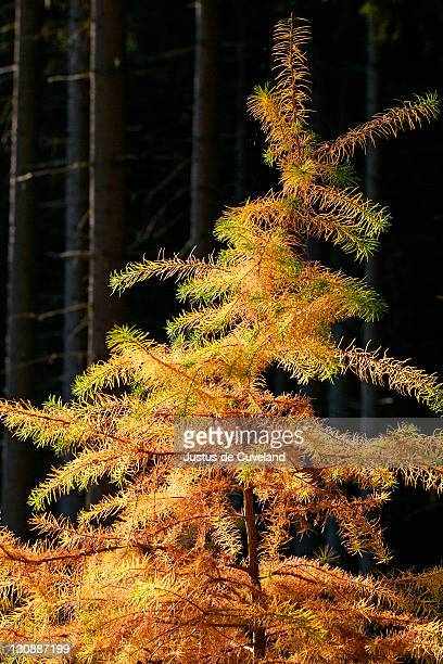 european larch - needles in autumn colours (larix decidua) - larch tree stock pictures, royalty-free photos & images