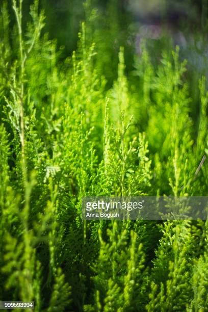 european larch (larix decidua) - european larch stock pictures, royalty-free photos & images