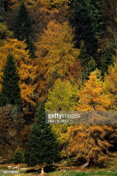 European Larch Pinaceae Norway Spruce or European Spruce Pinaceae Beech Fagaceae and Birch Betulaceae TrentinoAlto Adige Italy