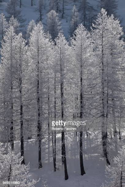 european larch (larix decidua), snow-covered coniferous forest in winter, aosta valley, italy - european larch stock pictures, royalty-free photos & images