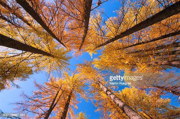 european larch trees (larix europaea) in forest, low angle view - larch tree stock pictures, royalty-free photos & images